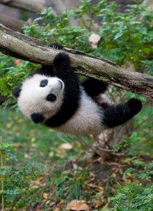 panda-hanging-from-tree